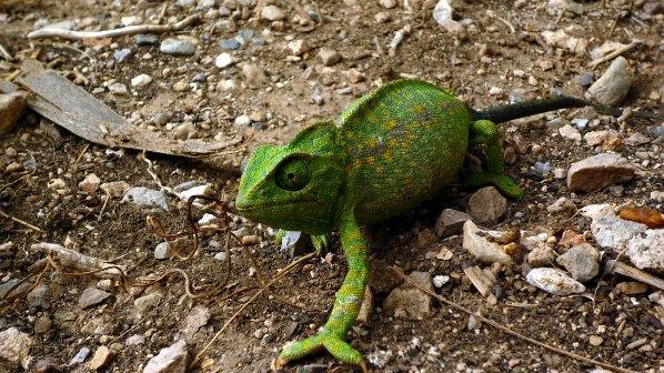 Madagaskar beherbergt die größte Artenvielfalt von Chamäleons