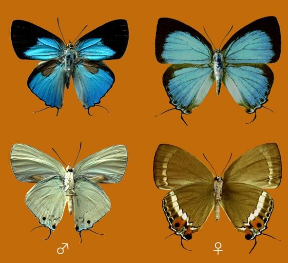 Schmetterlingsart Matsura Iljai auf Negros Quelle: Hisakazu Hayashi (CC BY-SA 3.0)